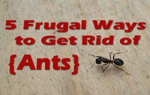 5-frugsl-ways-to-rid-ants
