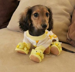 sausage dog in pjs