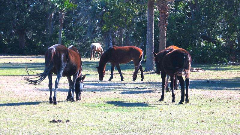 Cumberland Island Georgia - wild horses on the beach