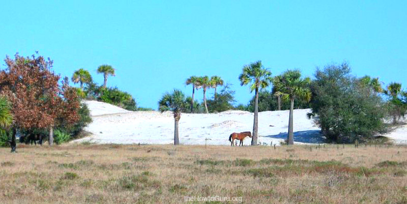 Cumberland Island Georgia - wild horses on the beach