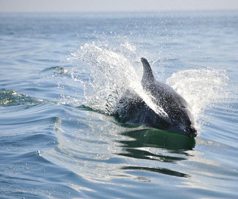 Dolphin near Cumberland Island Georgia ferry