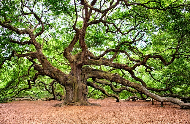 view of Angel Oak Tree - cheap things to do in Charleston