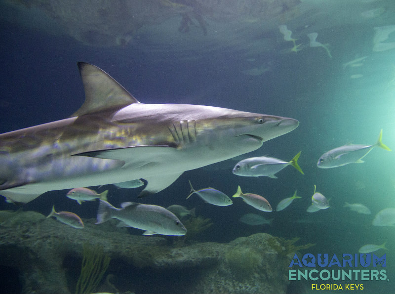 view of Aquarium with black tip sharks - things to do in Marathon Florida
