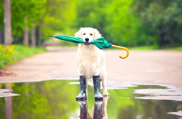 view of dog in rain boots with umbrella