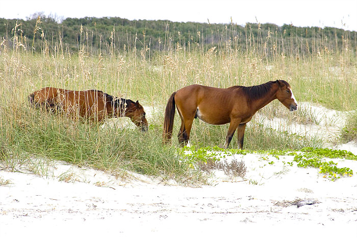 Two wild horses grazing in the sea oats and beach of Cumberland Island, Georgia.