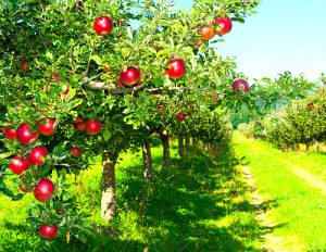red apple orchard rows with center lane