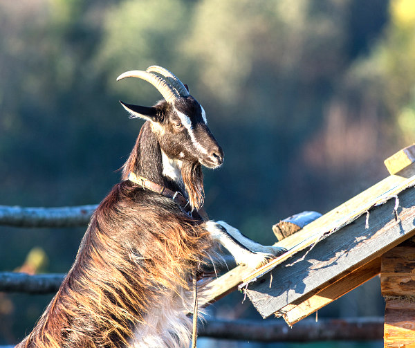 a large brown billy goat on a roof