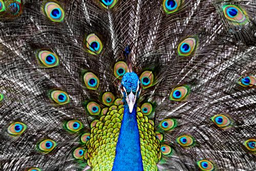close up of Palm Beach Zoo peacock in blue, green and brown vibrant colors